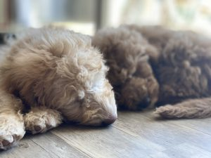 Labradoodle Puppies for Sale Charlotte NC