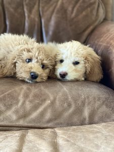 trained labradoodles