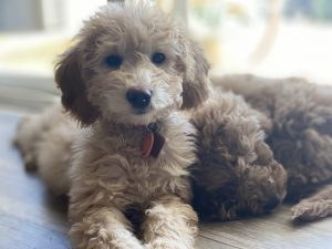 trained labradoodles for sale