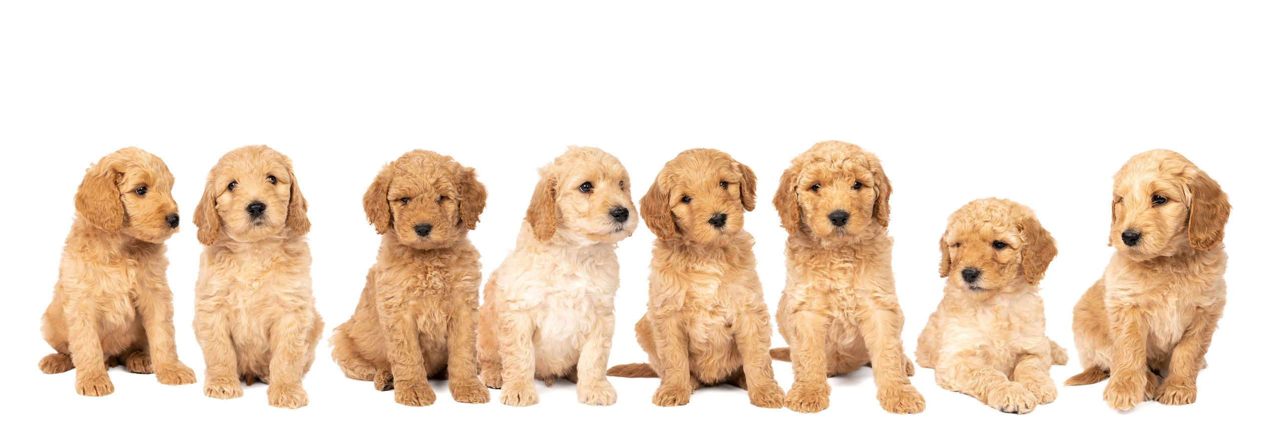 Labradoodle Puppy Lineup